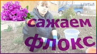 Как правильно посадить флокс уход посадка выращивание дома на даче флокс