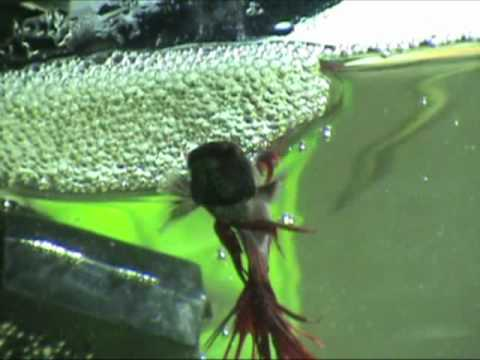 Male betta building his first bubble nest youtube for Bubbles in betta fish tank