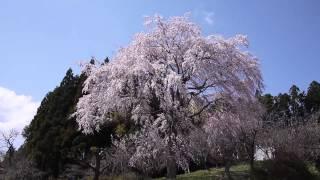三春 岩江小学校近くの桜2013年4月13日