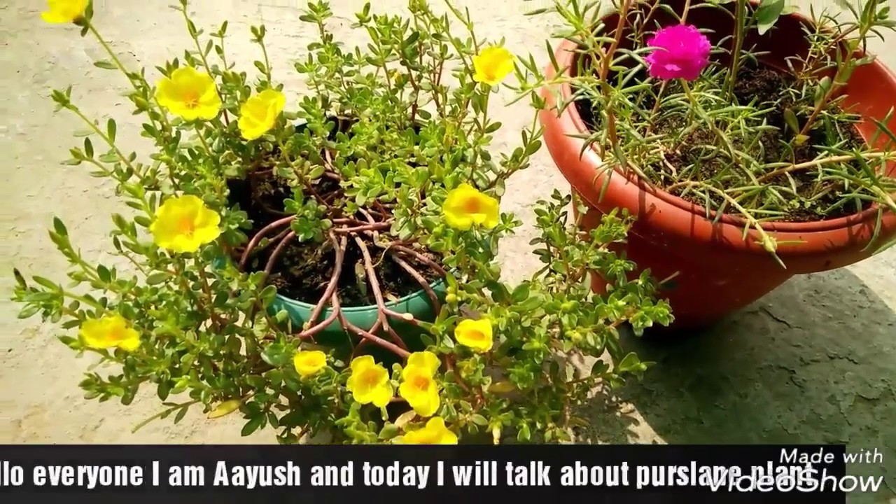 how to grow and get more flowers on purslane portulaca office time 9