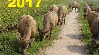 ĐỒ GỖ ĐỨC HIỀN : Ai nghe tiếng Trâu gặm cỏ chưa? 28-5-2017