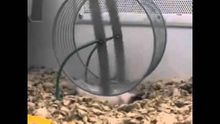 Hamster gracioso en su rueda de giro *El ve la vida desde ...