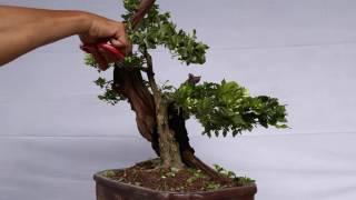 Gambar cover Một  chút  chia sẻ  về  cây Nguyệt  Quế.