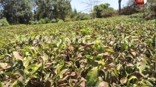 Kenya tea farmers face huge losses