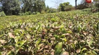 Kenya tea farmers face huge losses