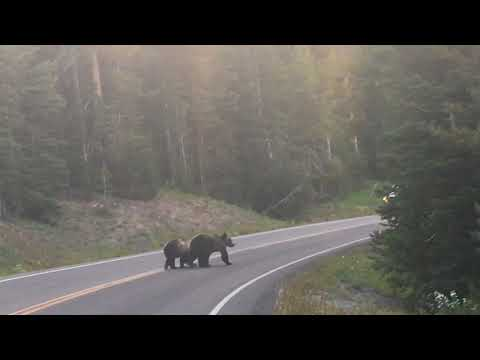 Yellowstone, USA, grizzly bears on the road