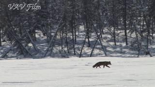 На зимнике встретили лису