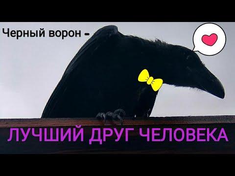 Вот почему заводят черного ворона