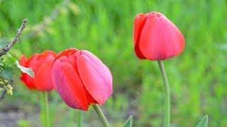Тюльпаны.  Что делать с тюльпанами после отцветания?