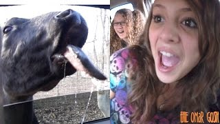Attack Of The COW Tongue!