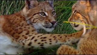 Дикая природа России  Кавказ  National Geographic Full HD 1080