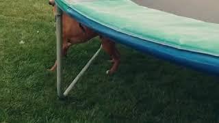 Tesh  brown dog trying to get orange ball from under trampoline backyard