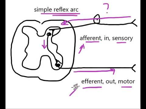 diagram of a simple reflex arc 2007 gmc sierra wiring radio youtube premium