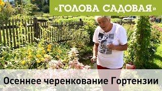 Голова садовая - Осеннее черенкование Гортензии