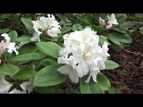 Rododendro de flor blanca: Rhododendron arboreum (www.riomoros.com)