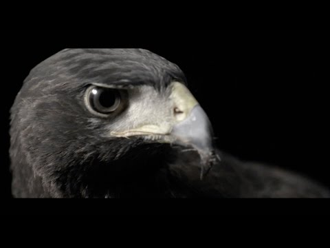 Bloody Tyrant 暴君 - 振翅 (Eagle Fly Free/羽撃く)