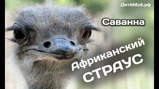 Африканский страус. Энциклопедия для детей про животных. Саванна