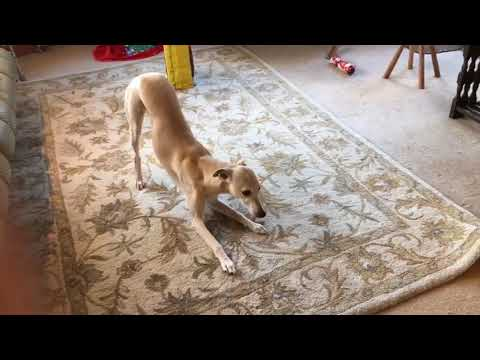 10 Funniest Whippet Videos | Funny Animals
