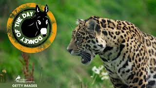 YouTube動画:Florida Man Swiped By Jaguar After Putting His Hand In Exhibit At Zoo