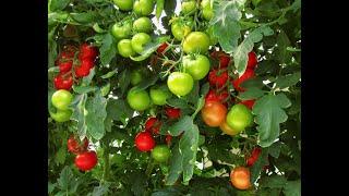 Чем опрыскать томаты от фитофторы ? 20 копеечных средств доступных всем!