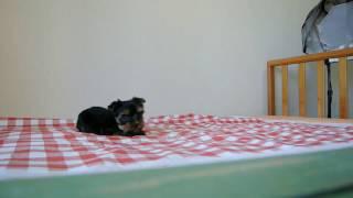 関東のブリーダーのヨークシャーテリアの子犬。 生後60日頃の動画です。...
