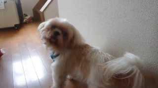 我が家の犬、カット屋さんがくるとこんな反応します! 洗われるのが苦手...