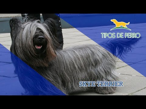 SKYE TERRIER - TIPOS DE PERRO