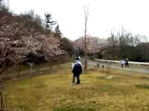 TU NGHIEP SINH  VIET NAM  SAKURA  公園で桜ビデオ5