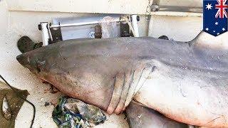 豪ニューサウスウェールズ州で、ボートにサメが飛び乗り、漁師の男性が...