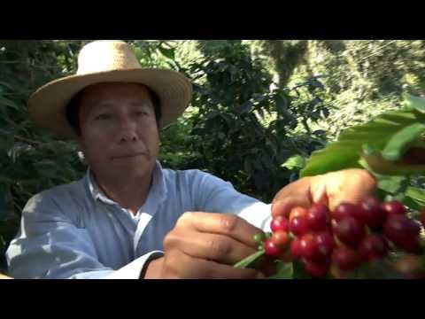 Veracruz Agropecuario - Producción de Café en Jilotepec, Ver.