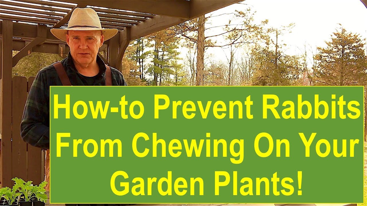 Tips and ideas on how to prevent rabbits from chewing on your garden plants youtube for How to deter rabbits from garden