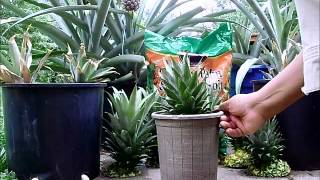 Pineapple Propagation from Pineapple Crowns.wmv