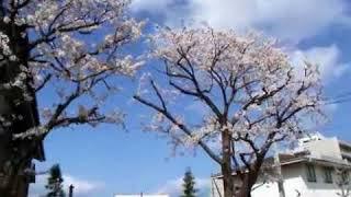 岩沼市役所と竹駒寺の桜(宮城県岩沼市) thumbnail
