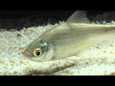 ปลาสร้อยขาว