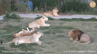 Скрытая камера, львиный музыкальный батл и невменяемый турист. Львы. Тайган. Lions of Taigan.