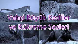 Vahşi Kediler Kükreme sesleri Big Cats Roaring