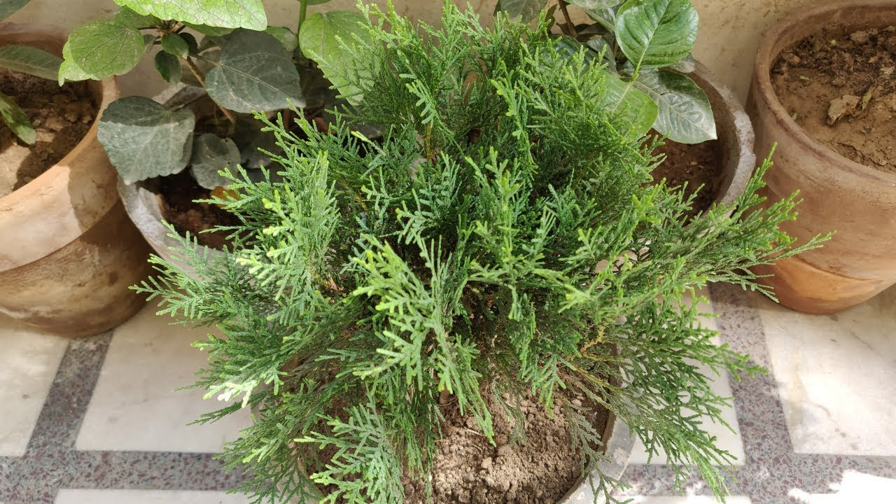 How To Grow & Care Morpankhi / Thuja Plant in Pots - The ...