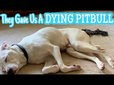 The Shelter Gave Us A Sick Dog || PUPDATE Pitbull Rescue