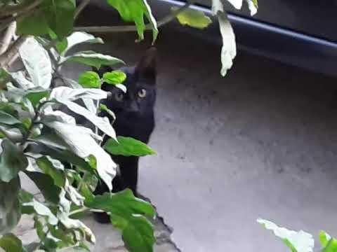 BOMBAY CAT KITTEN HUNGRY