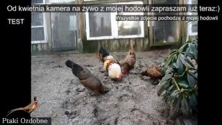 Ptaki Ozdobne