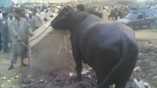 Cow Qurbani 2008 Misc Pics (Khurram Bhai)