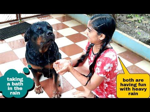 Anshu and jerry Enjoying rainy season||well trained rottweiler dog.