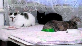 Жительница Крыма приютила 55 кошек (новости)