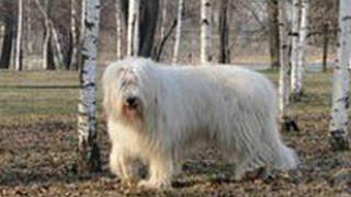 Южнорусская овчарка. Лучшие породы собак.