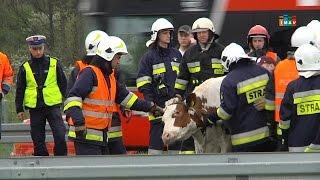 Wypadek z udziałem zwierząt - bez komentarza - imav.tv