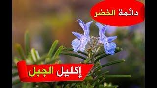نبات روزماري(إكليل الجبل)-رعاية و فوائده-نباتات الزينة الخارجية