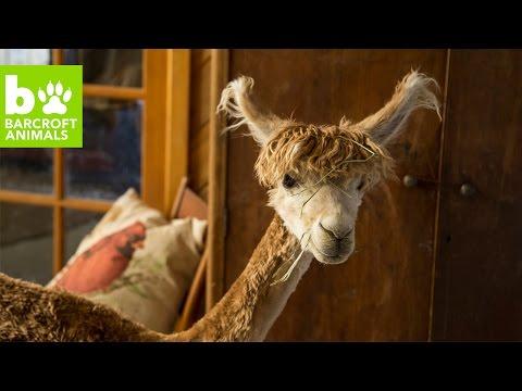 Tiny House Alpaca Thinks She's Human: BEAST BUDDIES