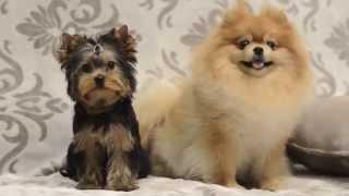 Йоркширски терьер щенок и померанский шпиц