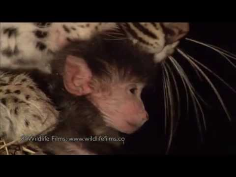 Incredible leopard and baby baboon interaction