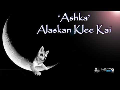 Ashka Alaskan Klee Kai Channel & GoPro 3+